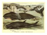 Marine Mammals Prints