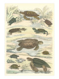 Turtles and Tortoises Posters