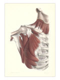 Musculature of the Shoulder Area Prints