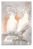 Two Cockatoos Posters