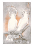 Two Cockatoos Poster