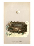 Orphean Warbler Egg and Nest Posters