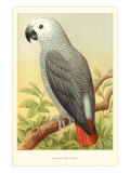 African Grey Parrot Prints