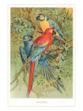 Macaws in the Jungle Posters