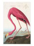 Flamingos Prints