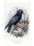Carrion Crow with Nest Giclee Print
