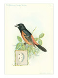 Orchard Oriole and Egg Affiches