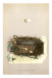Orphean Warbler Egg and Nest Poster
