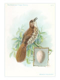 Brown Thrasher, Songbird Reproduction giclée Premium