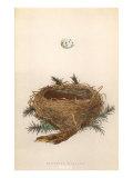 Dartford Warbler Egg and Nest Affiches