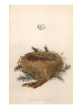 Dartford Warbler Egg and Nest Prints