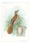 Brown Thrasher, Songbird Affiches