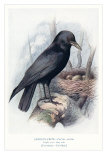 Carrion Crow with Nest Poster