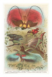 Birds of Paradise from New Guinea Affiche