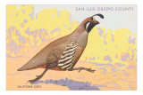 California Quail, San Luis Obispo County Photo