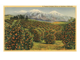 Orange Grove in Southern California Posters