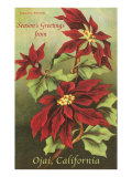 Poinsettia Blossoms, Ojai Posters