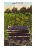 Grape Harvest, Los Olivos Prints