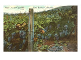 Grape Vines in Paso Robles Prints