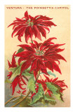 Ventura, the Poinsettia Capital Print