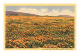 Poppies in San Luis Obispo Poster