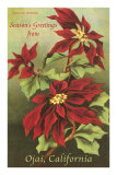 Poinsettia Blossoms, Ojai Prints