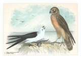 Swallow-Tailed Kite and Marsh Hawk Posters