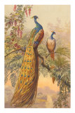 Peacock and Peahen, Illustration Poster