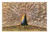 Peacock in Display Prints