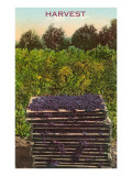 Harvest, Flats of Grapes Prints