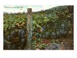 Vines Love an Open Hill, Vineyard Print