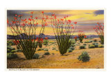 Ocotillo Blooming in Desert Posters