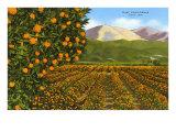 Orange Groves, Ojai Print