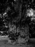 Gnarled Tree Photographic Print by Dan Fone
