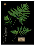 Sensitive Fern Prints by Brian Foster