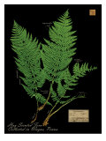 Hay Scented Fern Giclee Print by Brian Foster