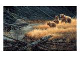 Yellowstone Grizzlies Giclee Print by Paco Young