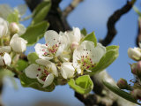 Wild Pear Tree Blossom Photographic Print by Michael Black