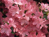 Close-Up of Azalea Flowers, Blaaws Pink, Taken in May in Devon, England Photographic Print by Michael Black
