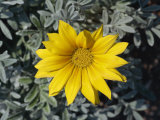 Close-Up of Yellow Gazania Flower Taken in August in Devon, England Photographic Print by Michael Black