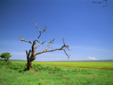Dead Tree and Landscape, Tarangire National Park, Tanzania, East Africa, Africa Photographic Print by Nigel Callow