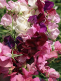 Bunch of Sweet Pea Flowers, Lathyrus Odoratus Old Fashioned Mixed Taken in August Photographic Print by Michael Black