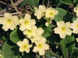 Primroses, During March, Devon, England Photographic Print by Michael Black