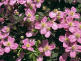 Pink Flowers of Clematis Montana Tetrarose Taken in May, England, United Kingdom, Europe Photographic Print by Michael Black