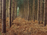 Pine Trees in Rows, Norfolk Wood, Norfolk, England, United Kingdom, Europe Photographic Print by Charcrit Boonsom