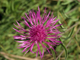 Close-Up of the Greater Knapweed Flower, Taken in August, in England Photographic Print by Michael Black