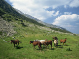 Group of Horses in the Pirim Mountains, Bulgaria, Europe Photographic Print by Nigel Callow