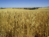 Vast Fields of Ripening Wheat, Near Northam, West Australia, Australia, Pacific Photographic Print by Richard Ashworth