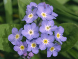 Close-Up of Forget-Me-Not Flowers, England, United Kingdom, Europe Photographic Print by Michael Black