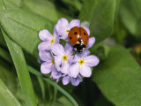 Seven Spot Ladybird on Forget-Me-Nots Photographic Print by Michael Black
